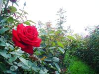 Rose Field 1