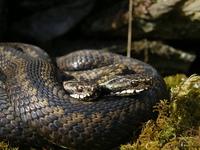 Norwegian Snakes_2_25.04.2005