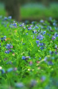 Spring Virginia Bluebells 2