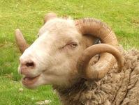 Sheep mug 1