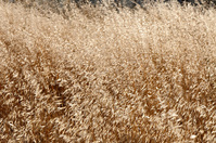 dried pasture