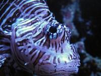 Lionfish 5