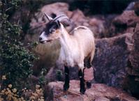 Goat Corsica