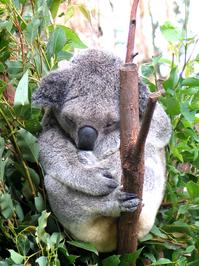 Koalas 1