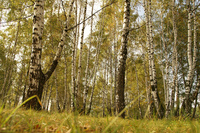 Birch trees 1