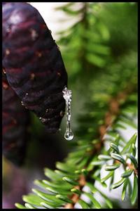 Pine drop