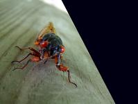 17 Yr Cicada 1