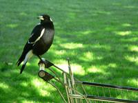 birds of australia 7