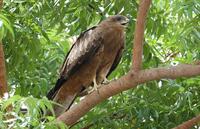 Kite / Small Hawk 5
