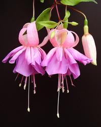 Twin Fuchsias