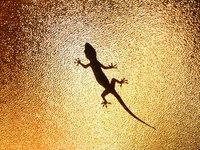 Largatixa gecko