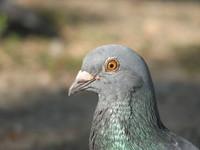 Pigeon 5