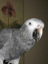 African Grey 1