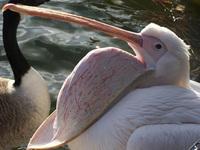 Pelican at St. James's Park Lo