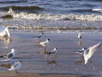 Sea-gulls 5