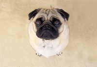 Pug - Indy
