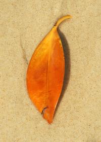 beach leaf 1