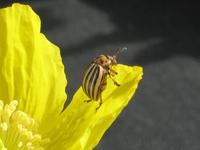 Patatoe Beetle 2