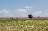 Greek sunflowers
