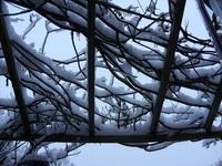 Snow on wisteria
