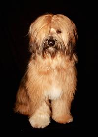 Tibetan Terrier 7