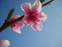 Peach In Blossom 5