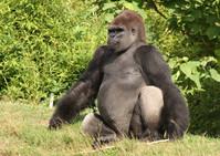 Gorilla Wildlife 5