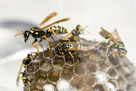 Wasp with Droplet
