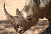 White Rhinoceros 3