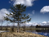 Spruce 1