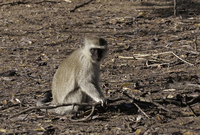 Photo of a vervet monkey taken in africa