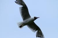 Sea-gull 1