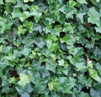 texture - ivy