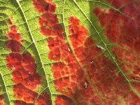wine leaf