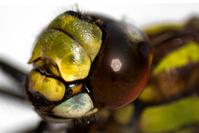 Dragonfly macro 1