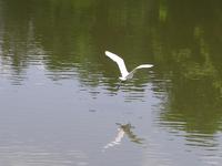 Crane flying over water