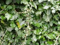 Ivy-clad 1