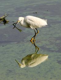 Snowy Egret (Egretta Thula) 2
