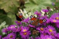 Butterflies in autumn 3