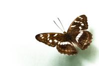 VelvetButterfly