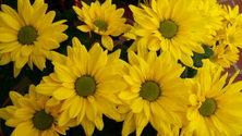 Yellow Chrysanthium 1