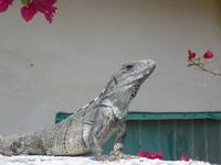 iguana in Puerto Morelos, Mexico
