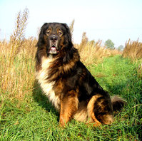 Caucasian Sheepdog in field