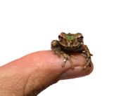 little frog 2