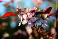 cherry flower #2
