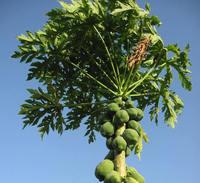 Papaya tree 3