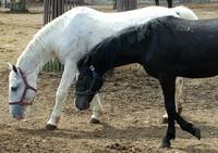 Black&White walking horses