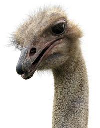 Ostrich on White