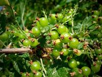 gooseberries