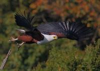 Fish Eagle Hunting 1